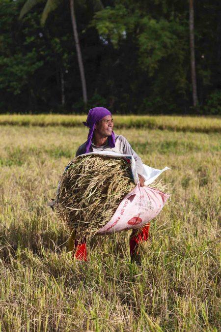 Ramasseur de riz aux Philippines